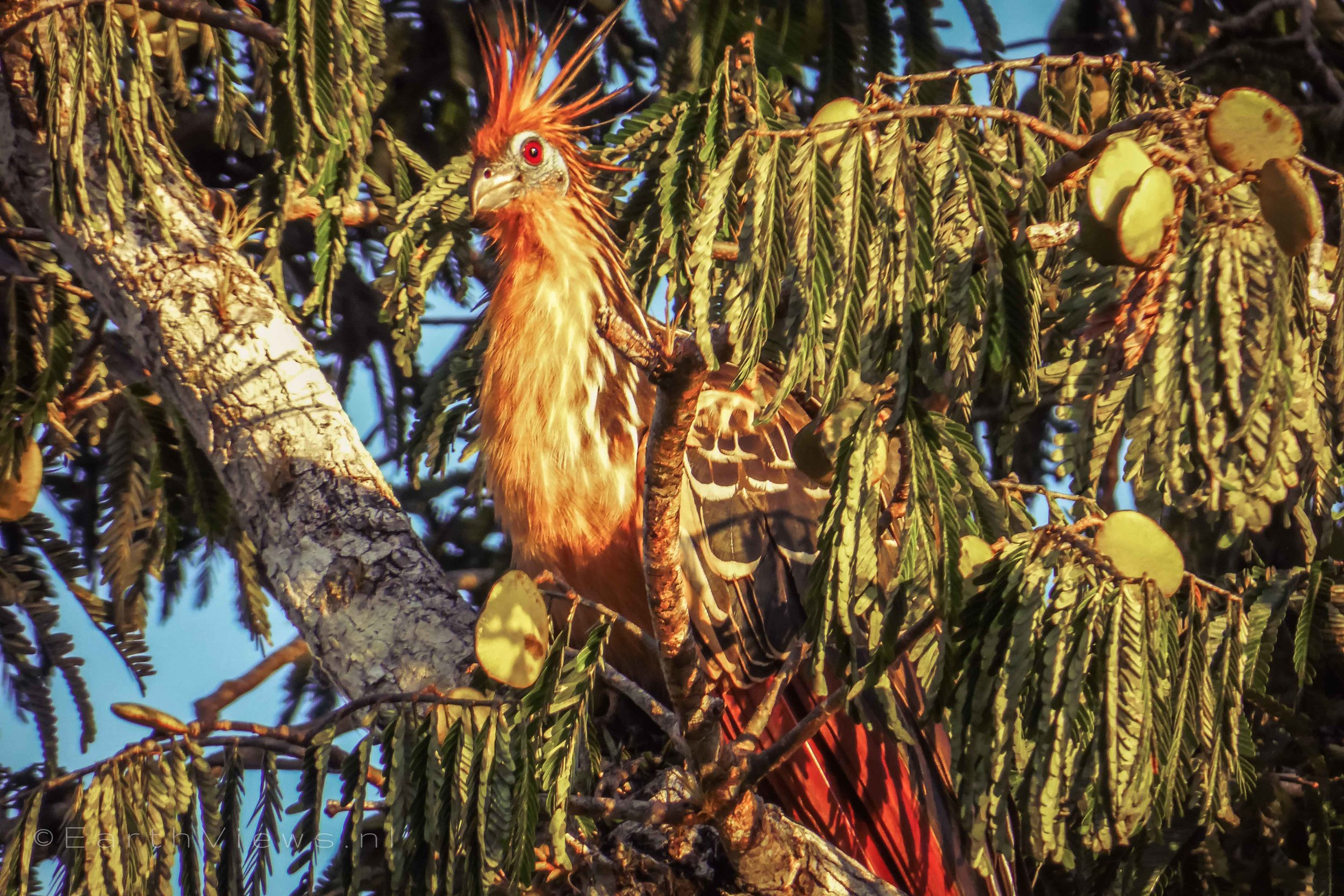 The hoatzin, or also called the stinkbird.