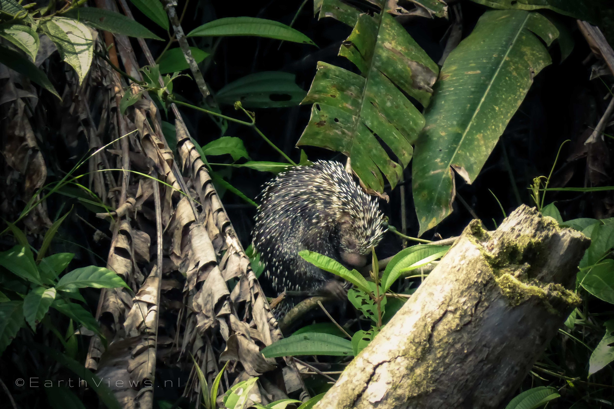 A porcupine, which was not very easy to spot.