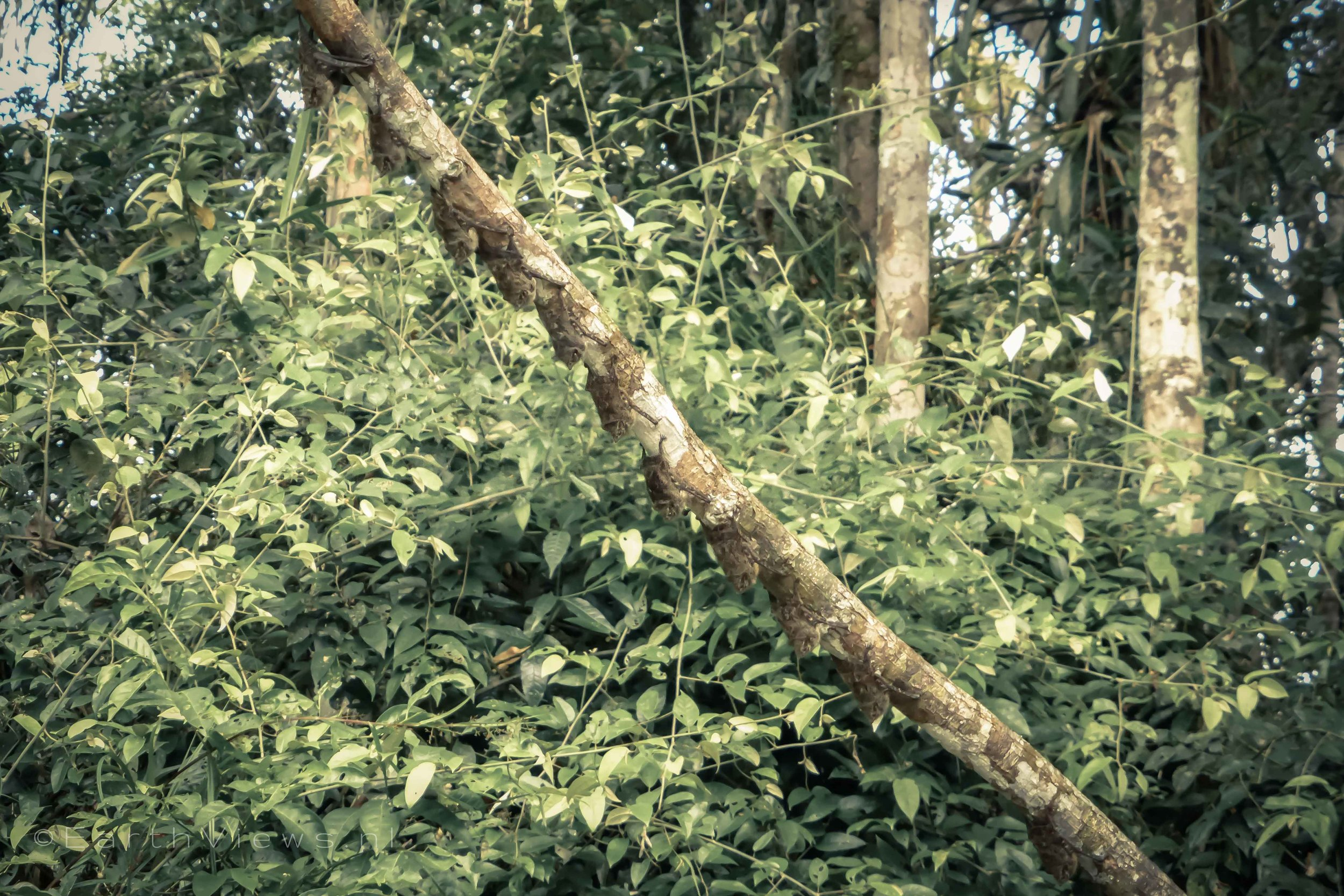 Many well camouflaged bats on a branch.