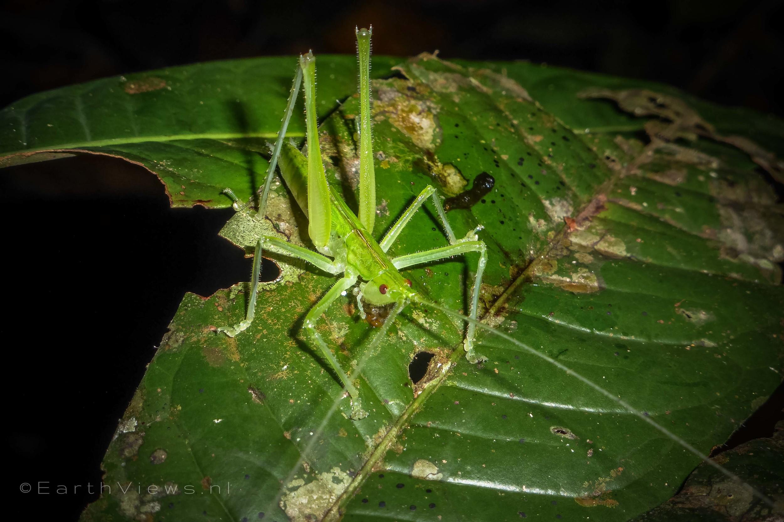some kind of grasshopper.