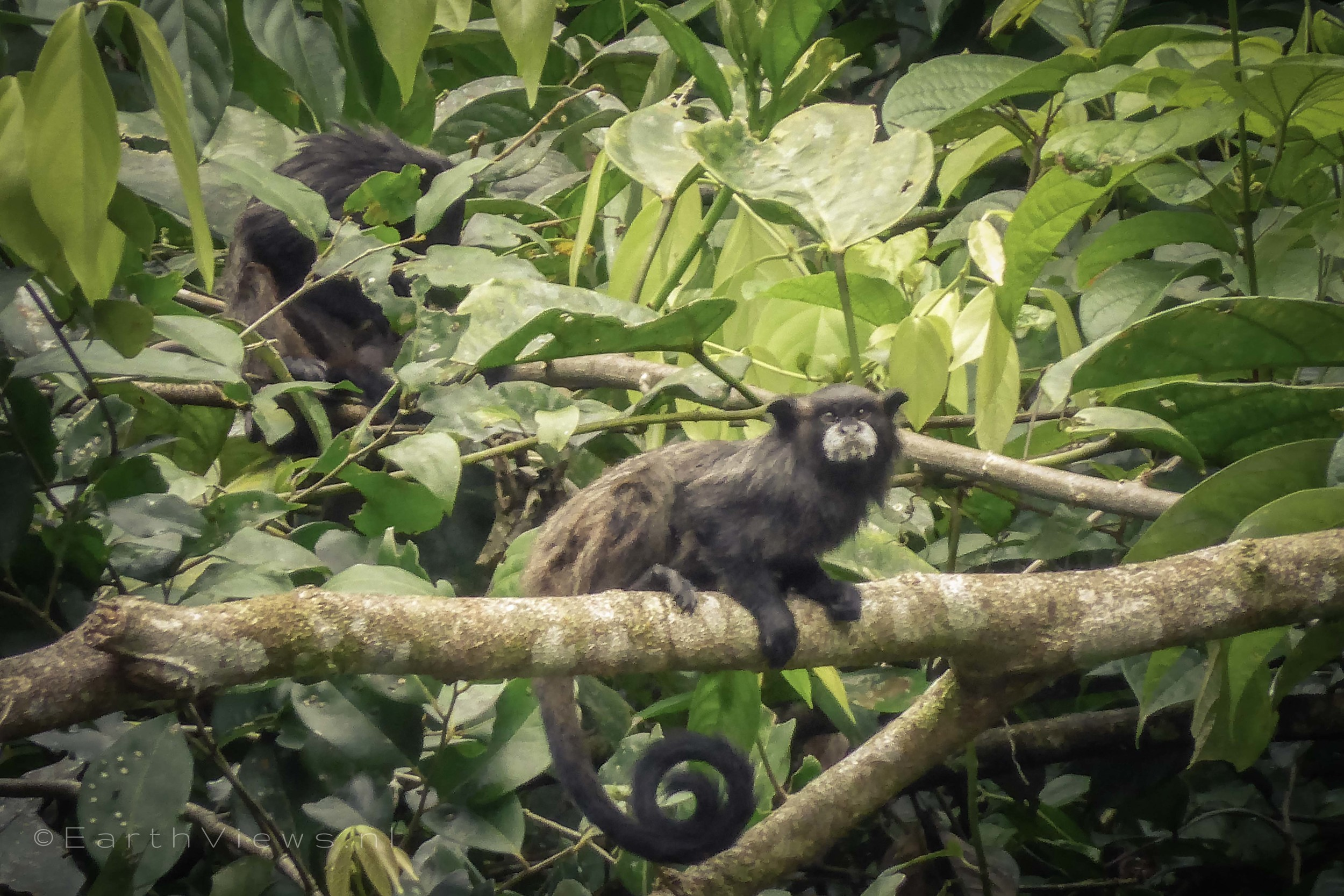 Final surprise. An animal we did not see earlier: the tamarin monkey.