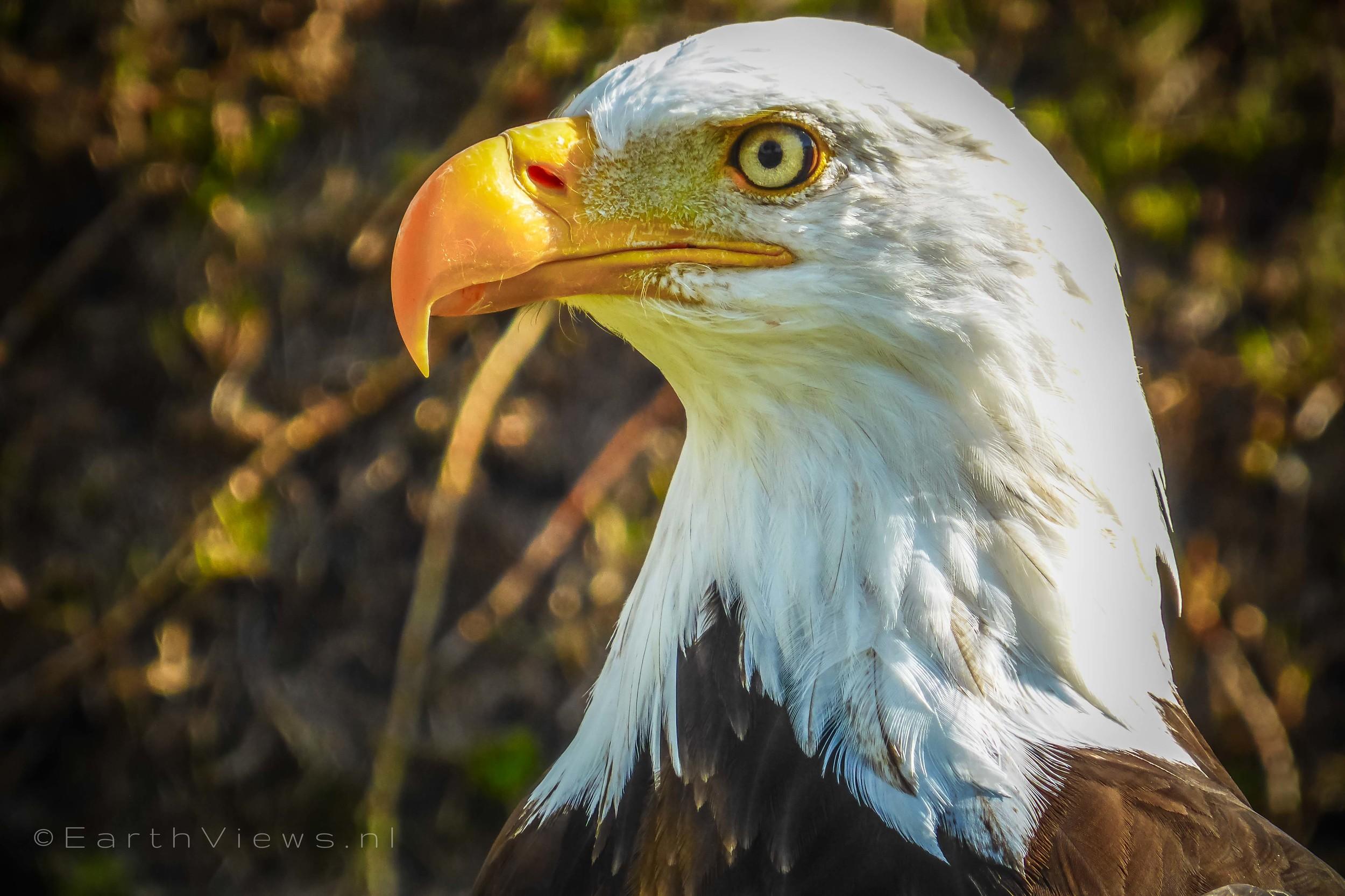 A bald eagle at Condor Park.