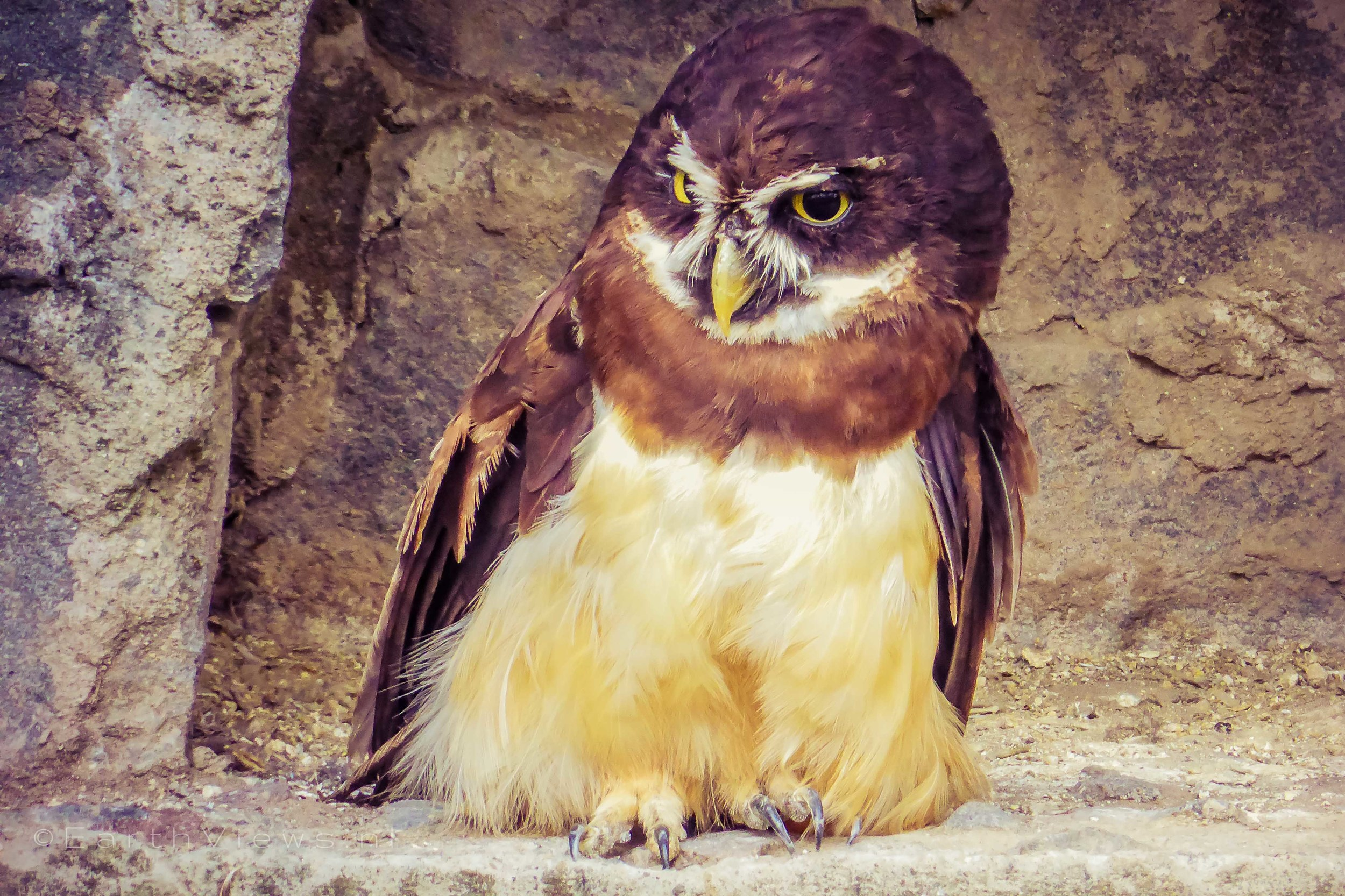 The Spectacled Owl.