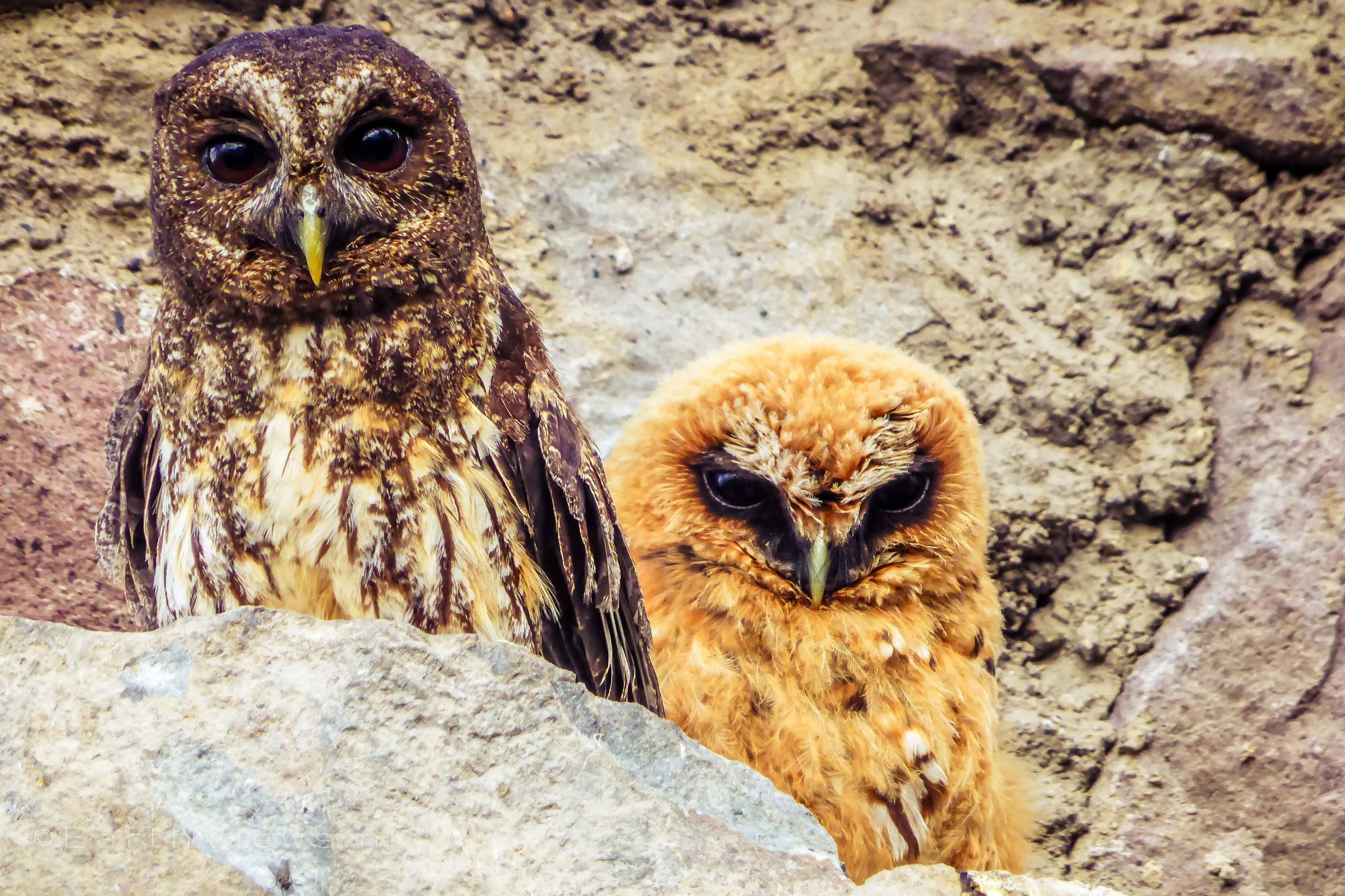 Rufous-banded Owls.