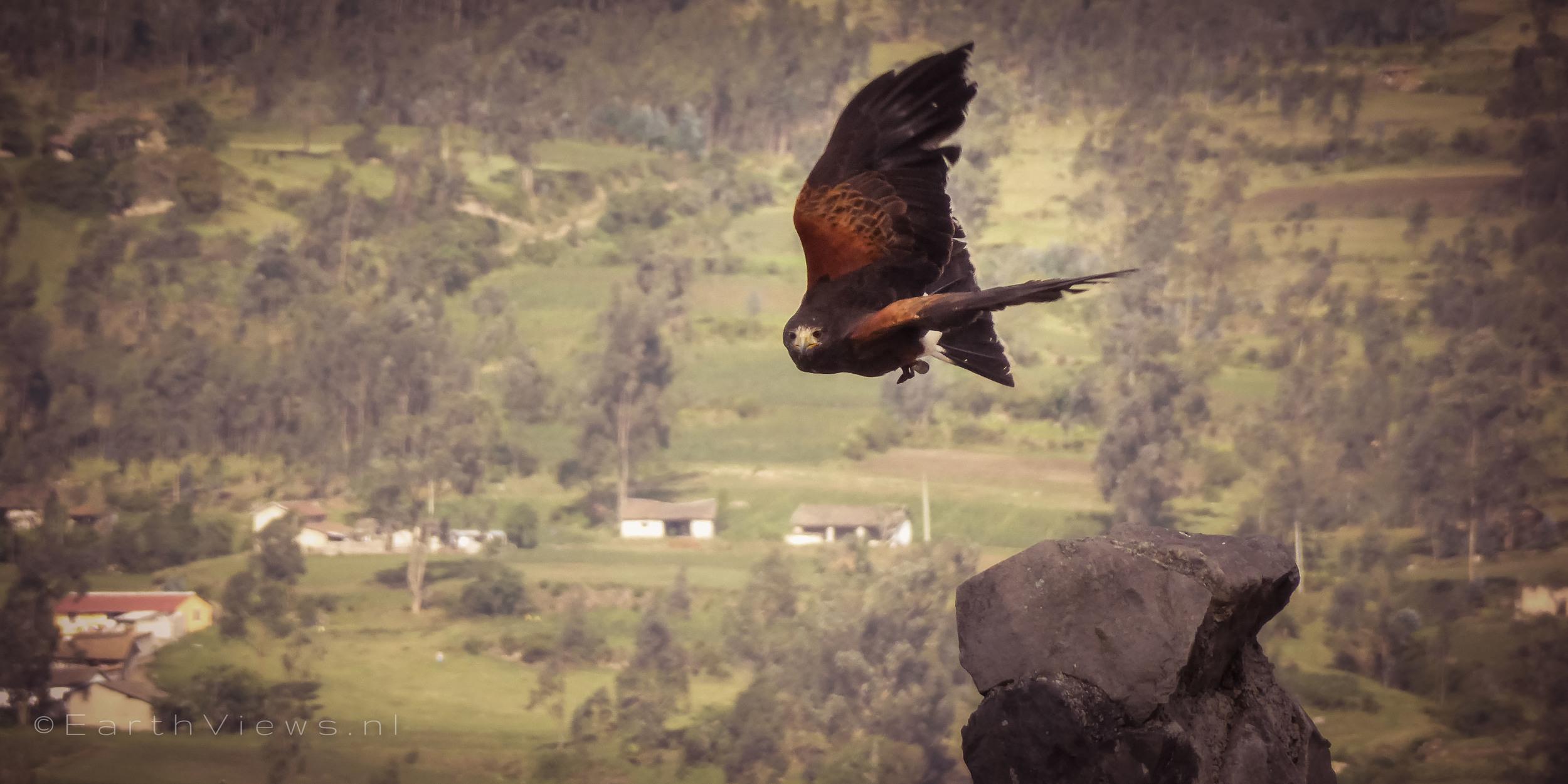 A Harris's hawk in flight at the Condor Park.