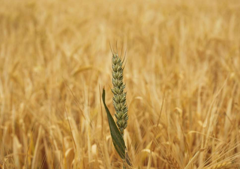 wheat-crop-uk.jpg