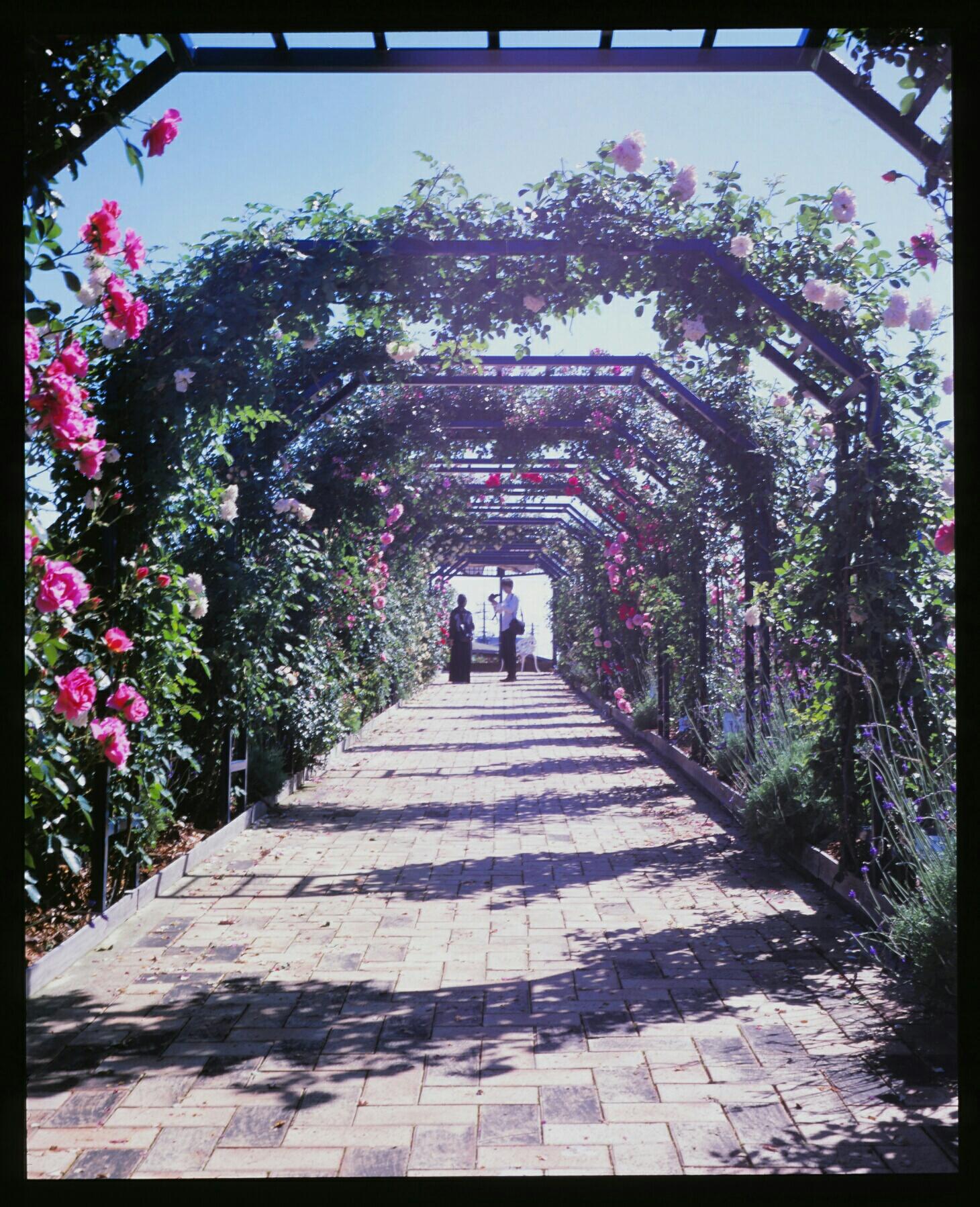 rose arches (Mamiya standard 23, Velvia 100)