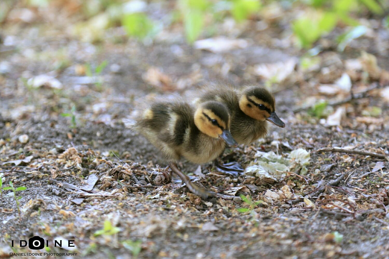 Pair of Quackers