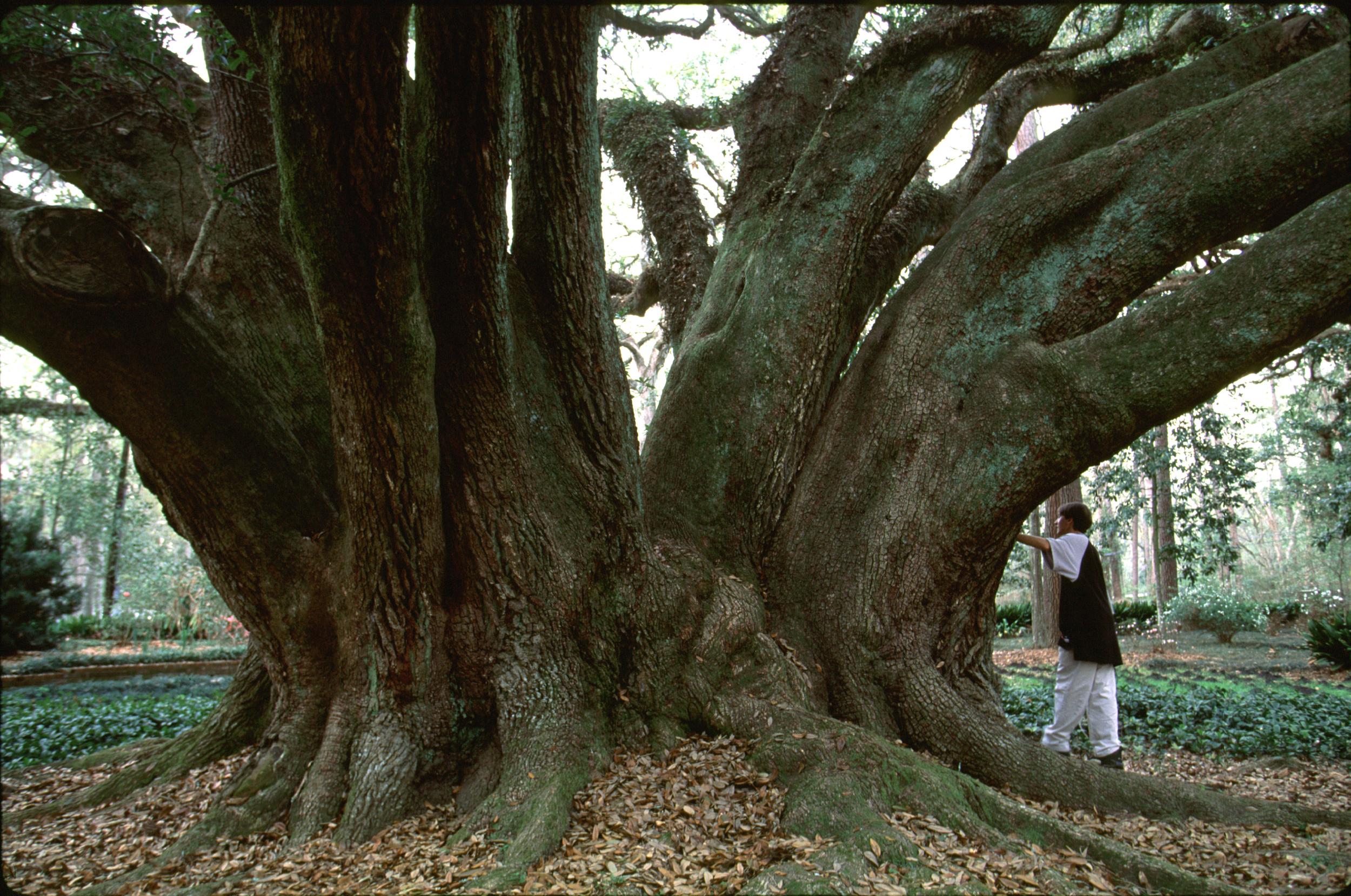 live oak.trunk james flat.jpg