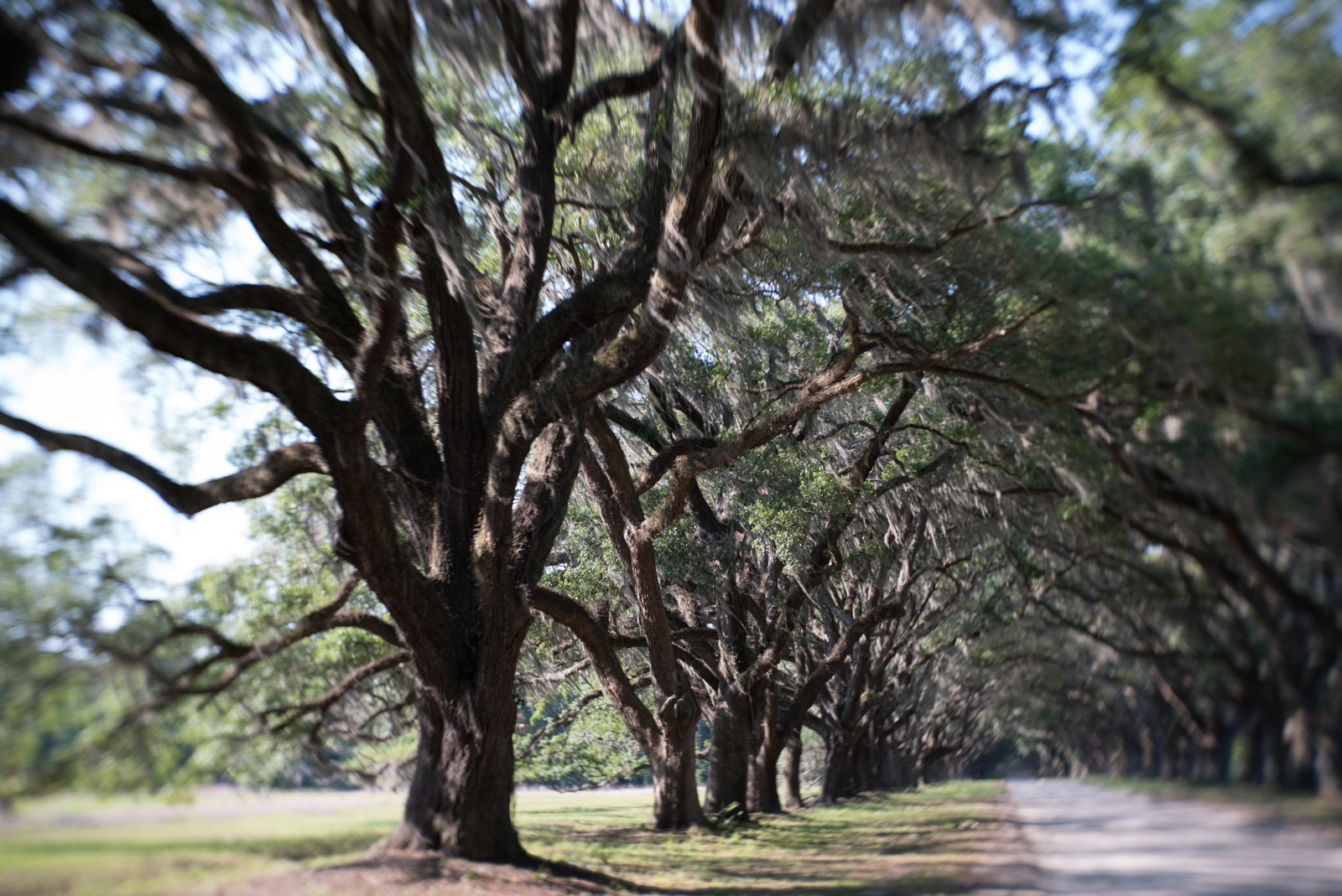 "The 1.5-mile, oak-lined ""avenue"" leads to the Wormsloe Plantation near Savannah, Georgia. Parts of the driveway will be under water with a rise of four feet in sea level."