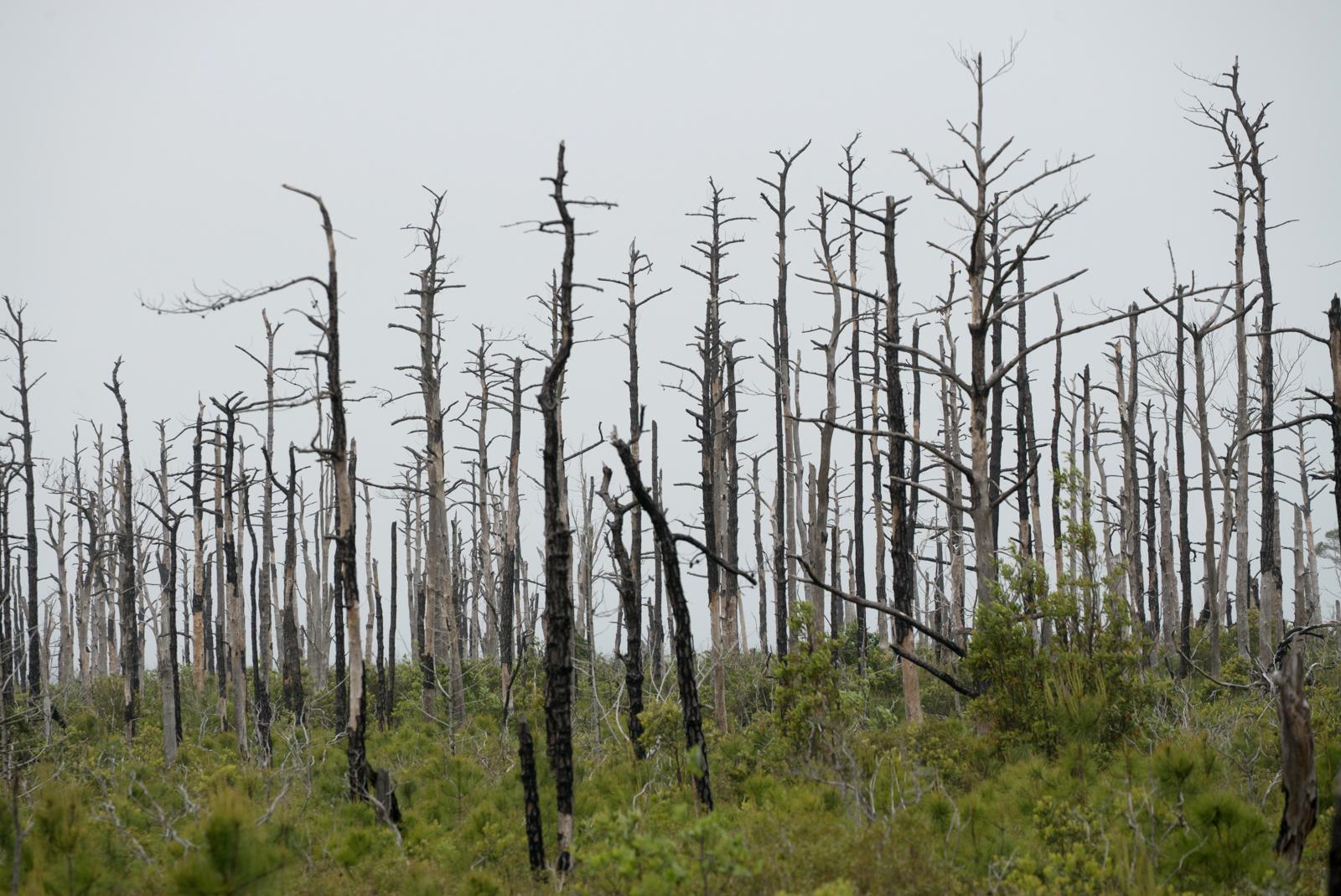 Trees killed from salt water intrusion, Alligator River National Wildlife Refuge, North Carolina