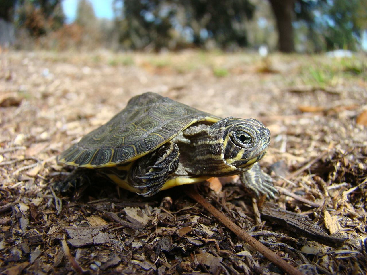 Hatchling Suwannee cooter found in nest along the Alafia River at Riverview, Florida.