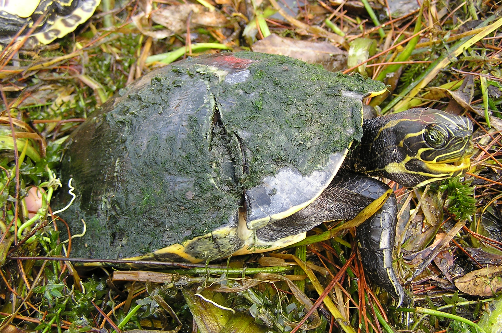 Young Suwannee cooter with a healed wound caused by a boat strike.