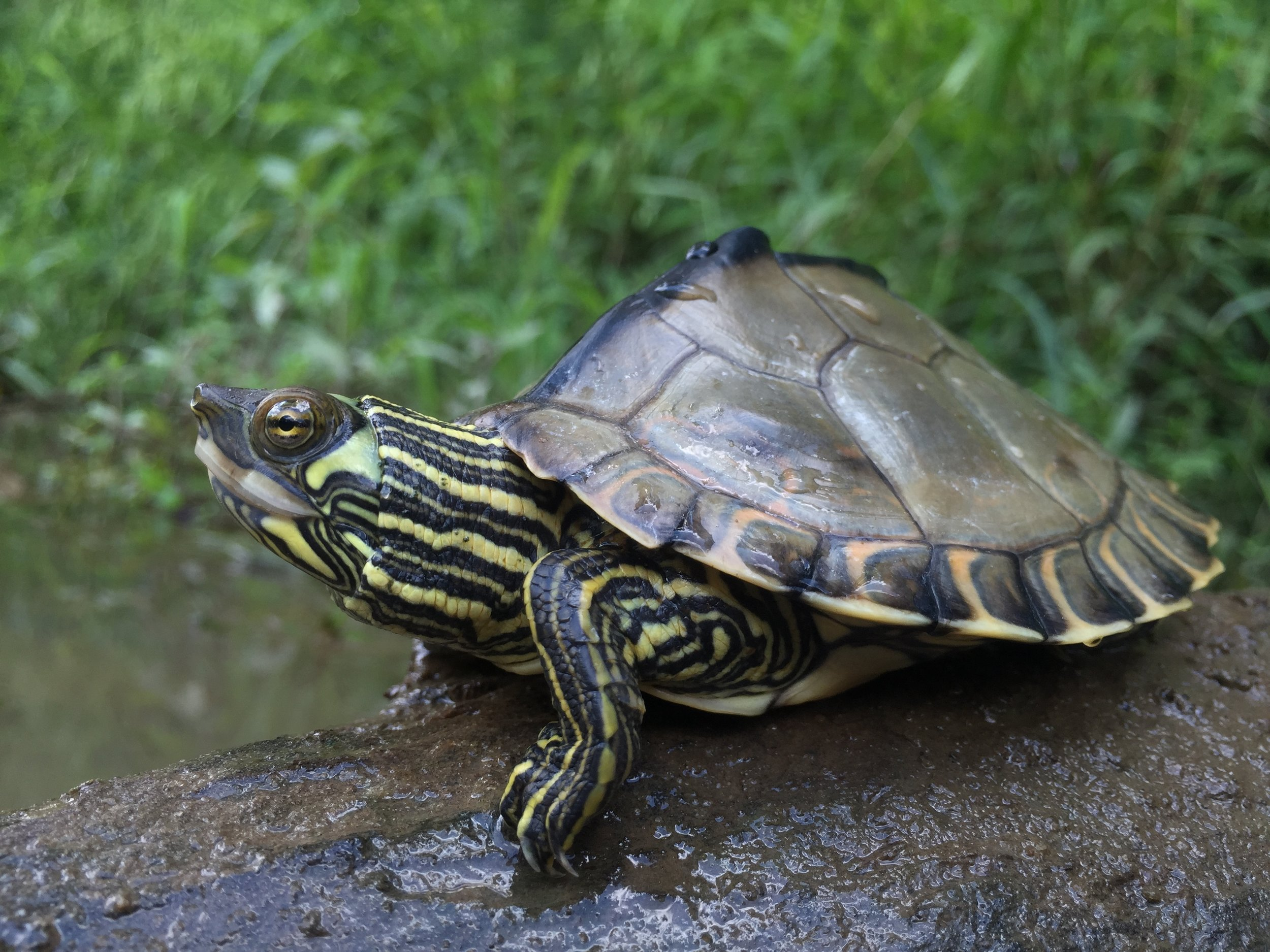 Pearl River map turtle (Graptemys pearlensis). Photograph by Timothy J. Walsh