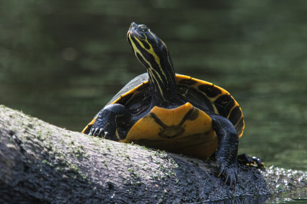 Basking adult Suwannee cooter ( Pseudemys concinna   suwanniensis )on the Little Manatee River (Hillsborough County, Florida).Photograph by James F. Caldwell.