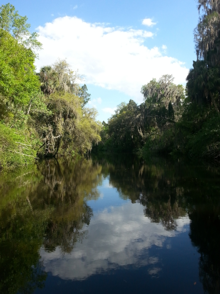 Scenic view of the Alafia River (Hillsborough County, Florida), home to an abundant population of the Suwannee cooter ( Pseudemys concinna suwanniensis ).Photograph by George L. Heinrich.