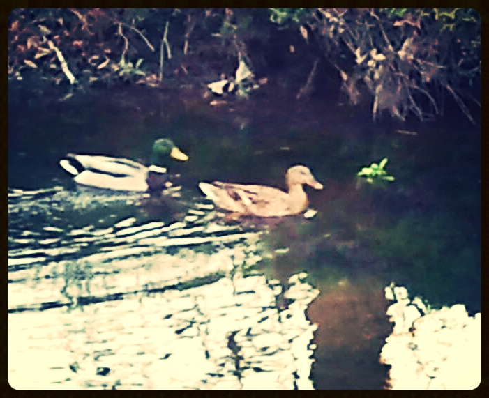 A pair of Mallards on the move down Burnt Mill Creek.