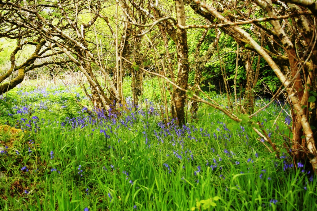 Bluebell woodland within the garden in spring