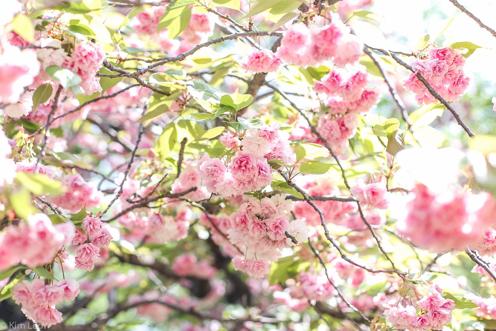 kimleow_cherryblossom_kyoto_travel-1.jpg