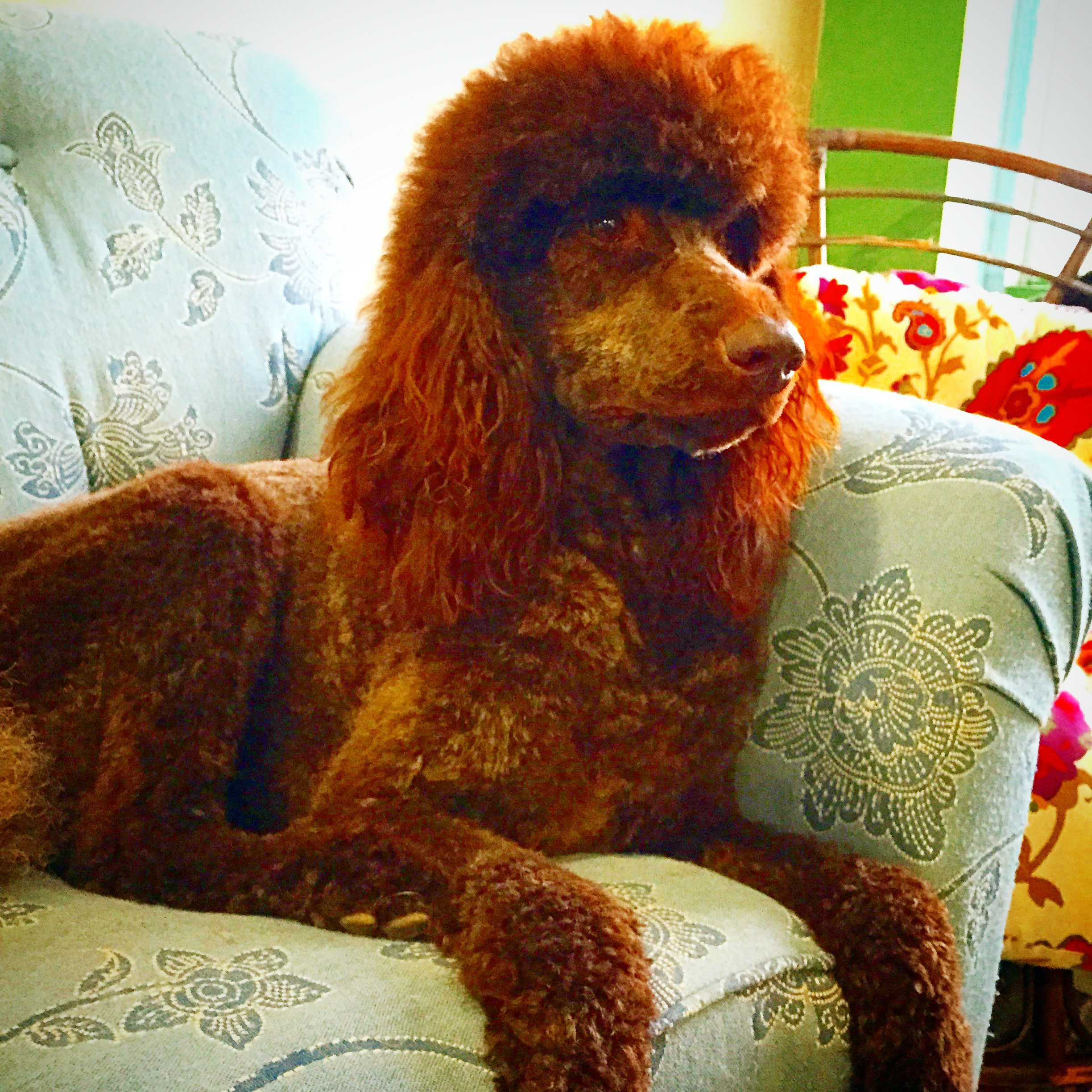 poodle-oncouch.jpg