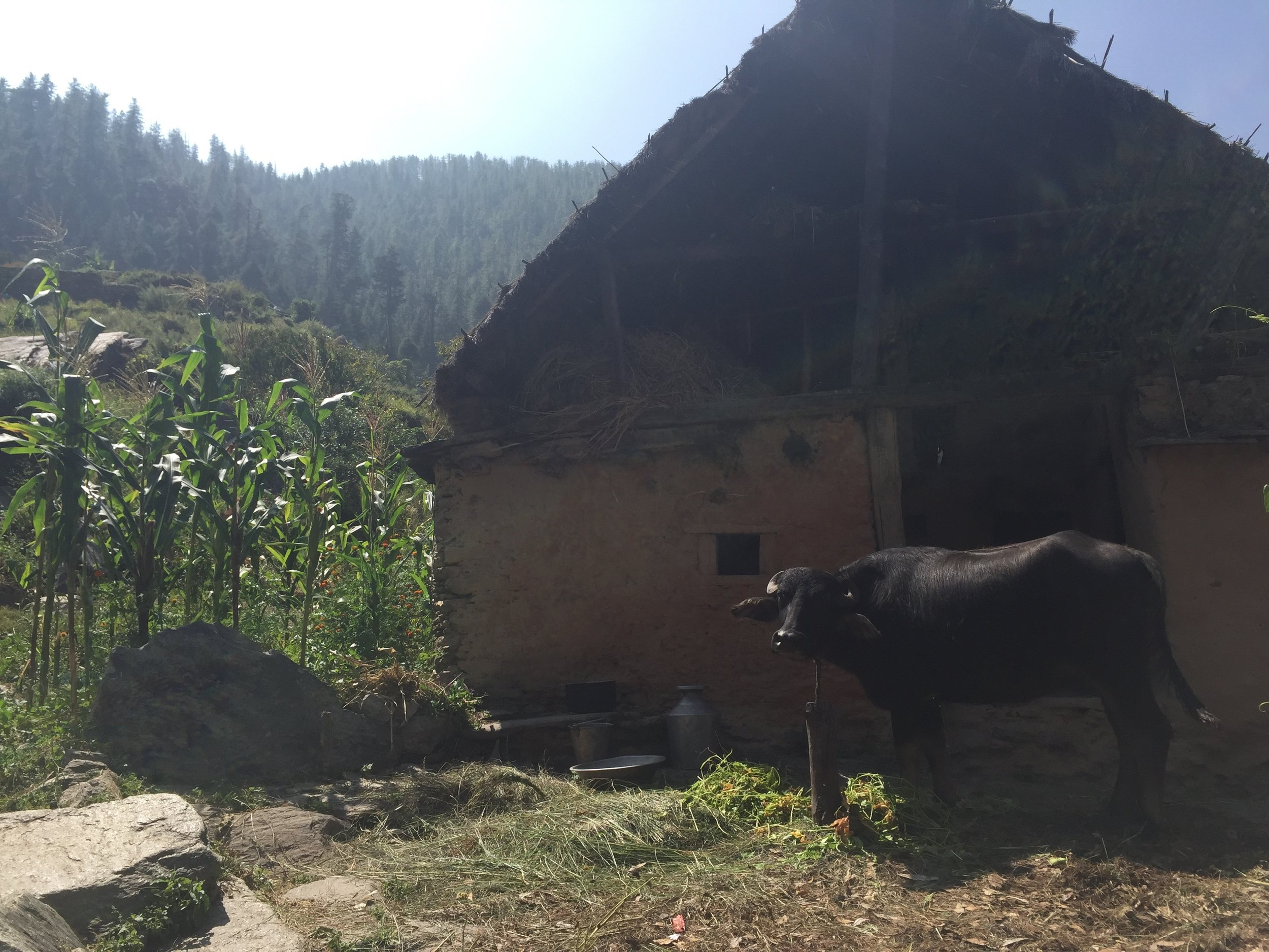 While walking through the village to say hello to students during our free time, we make sure to respect the space of the large buffalo