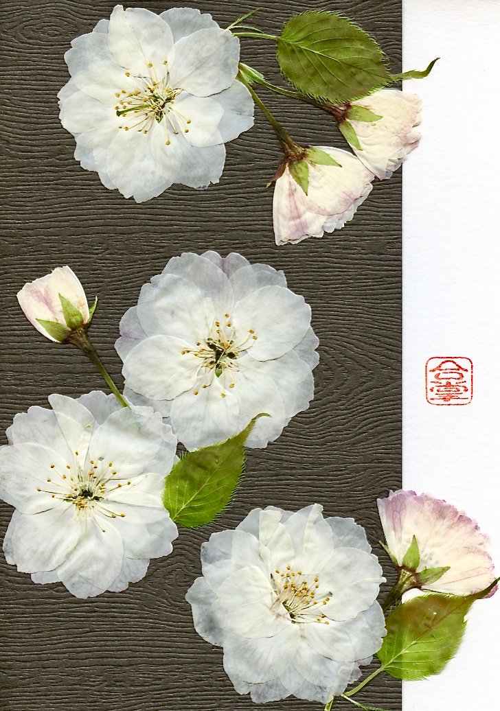 white sakura with dark b 2017.jpg