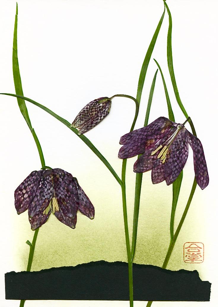 chocholate lilies 2017 1.jpg