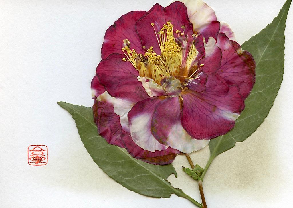 camellia 2017 2.jpg