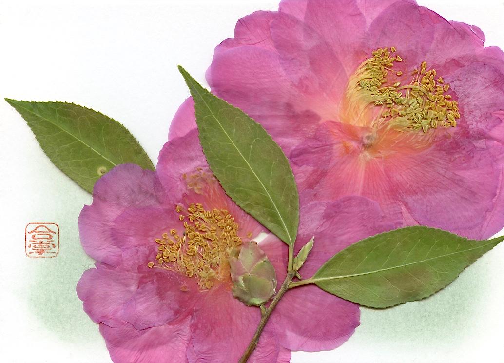camellia 2017 1.jpg