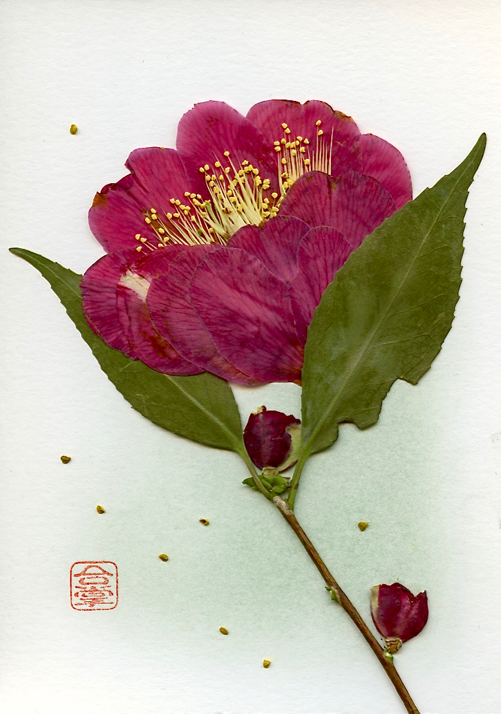 camellia 2017.jpg