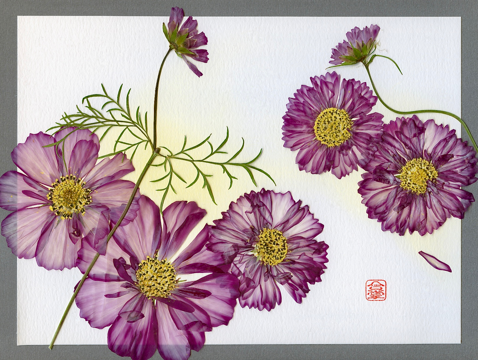 cosmos with yellow bgd.jpg