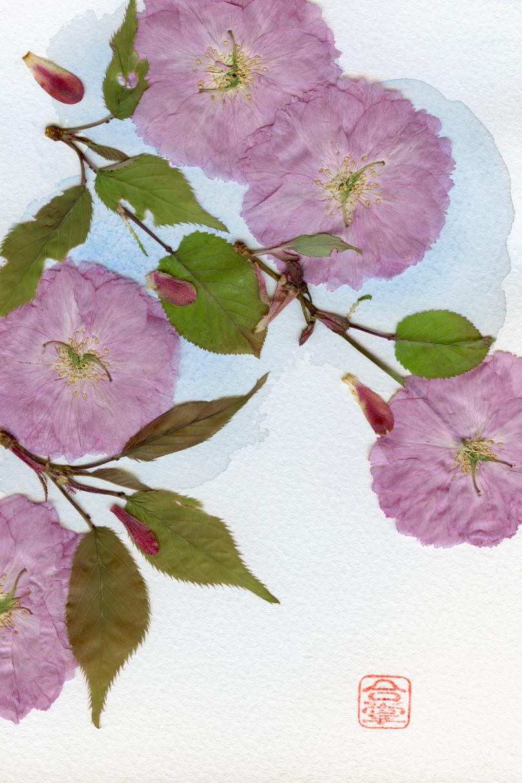 pink sakura 2018.jpg