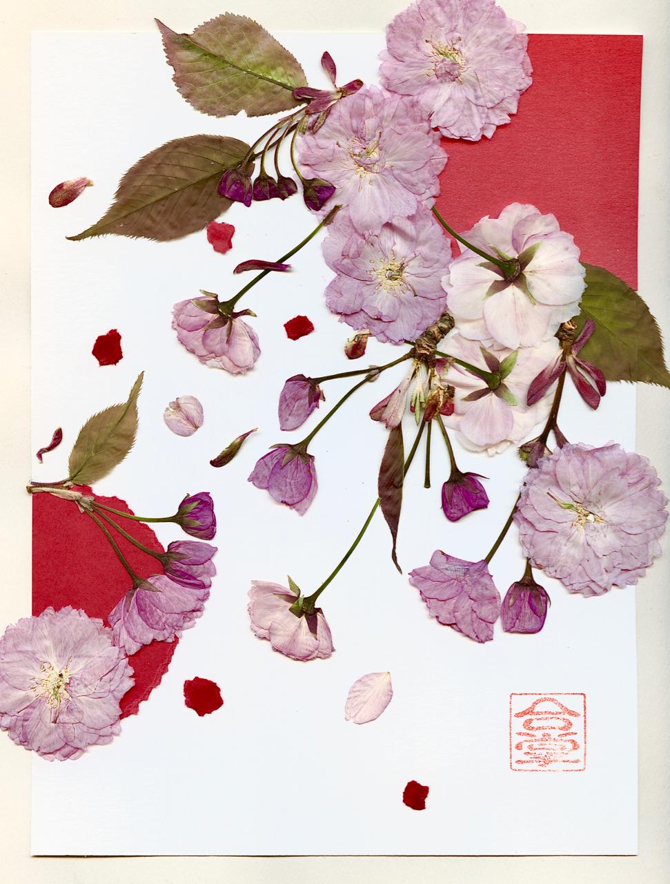 pink sakura 2018 1.jpg