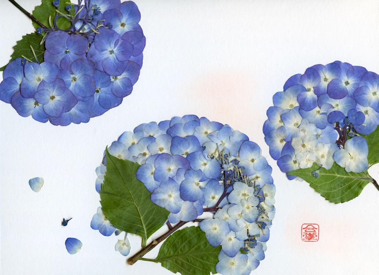 blue hydrangeas three images 2018.jpg