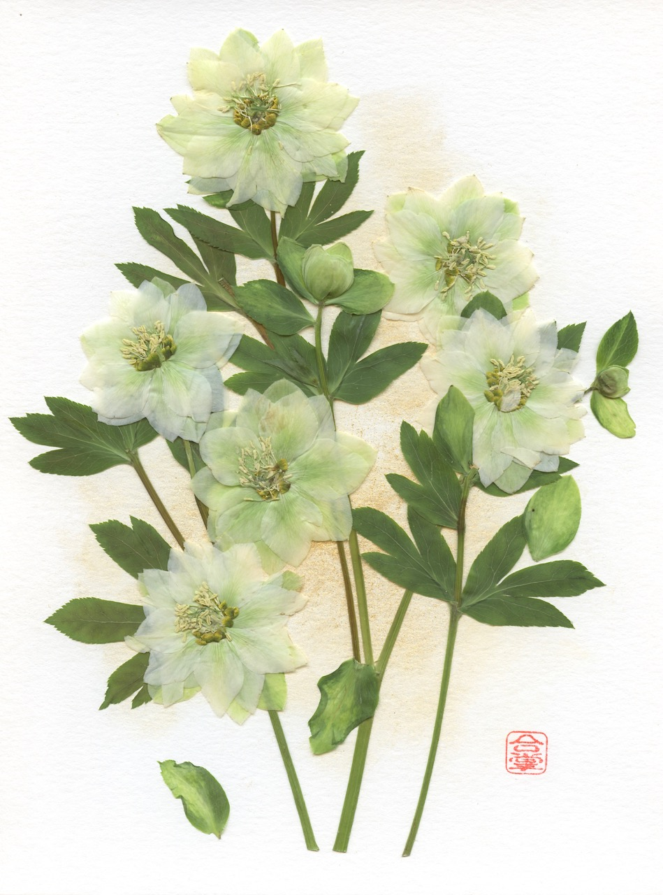 Hellebore white and green 2019.jpg
