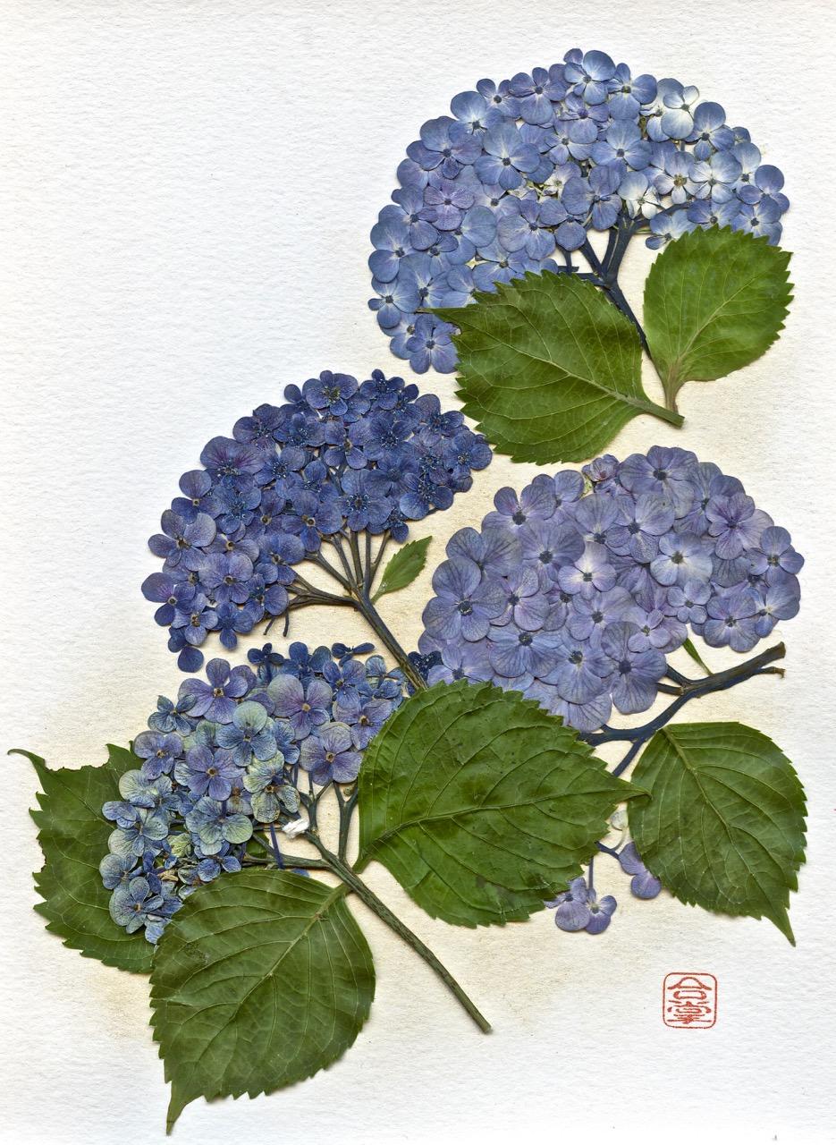 three blue hydrangea 2019-1.jpg