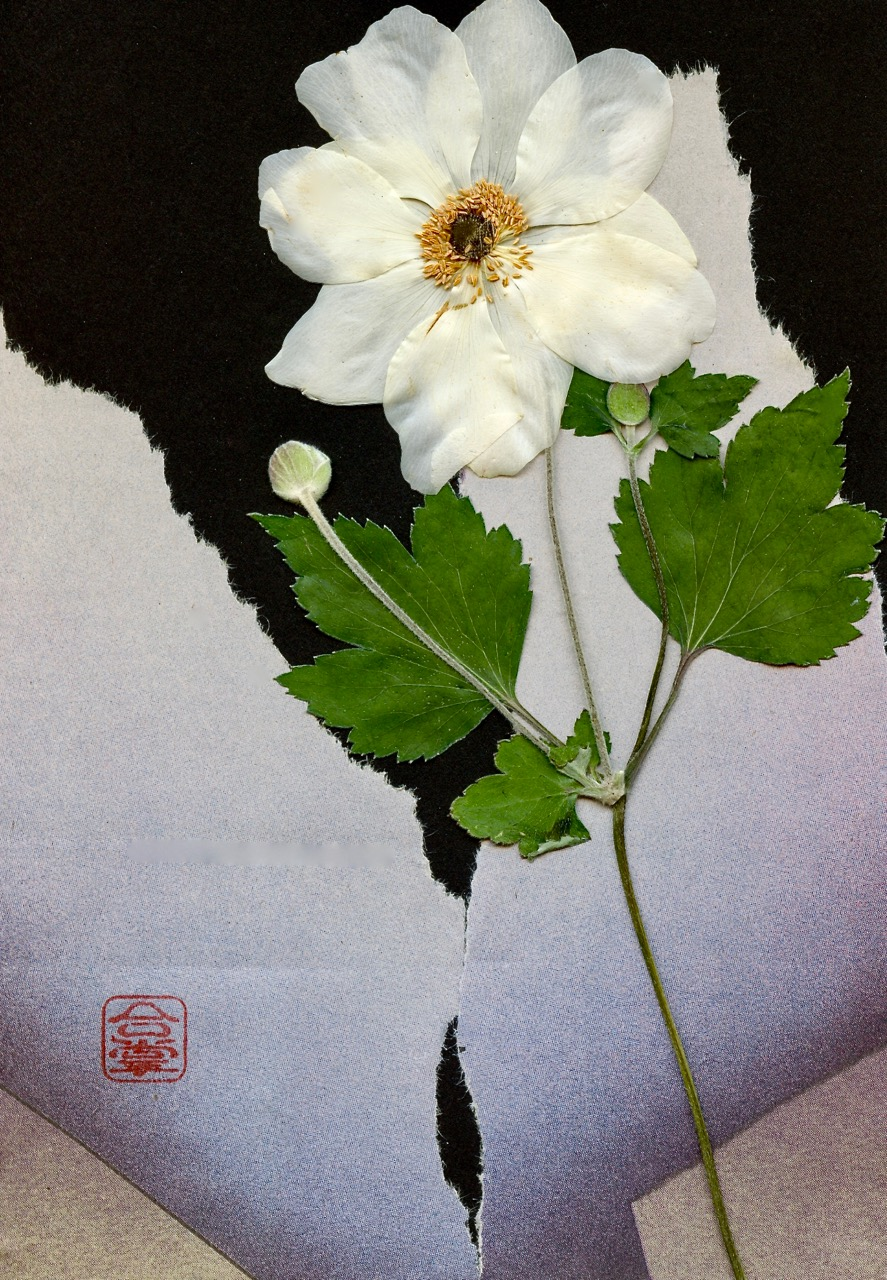 white Japanese anemone with grey and black bgd 2018.jpg