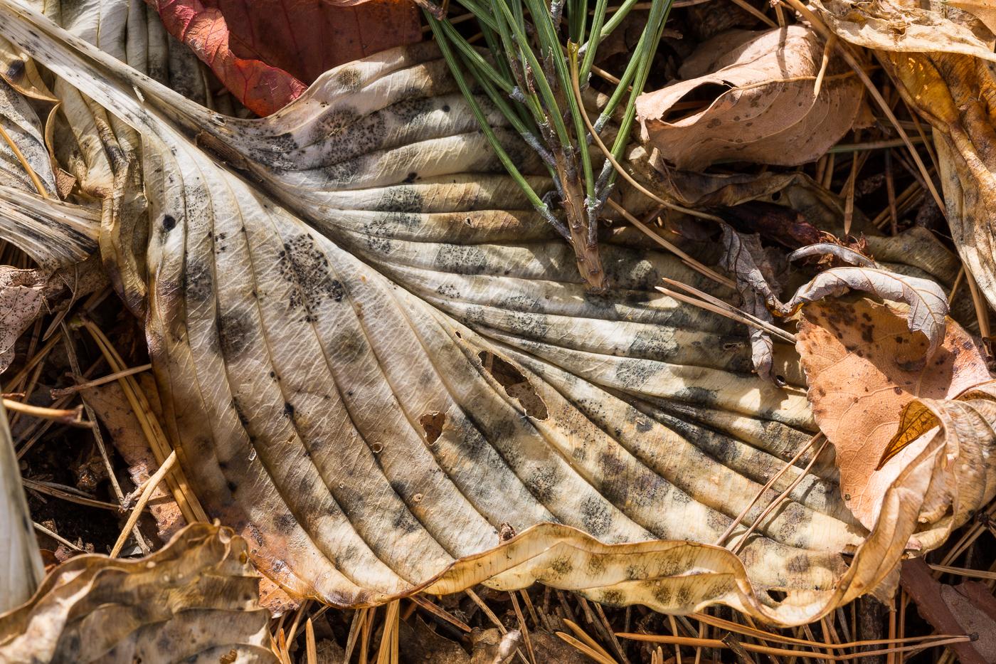 Hosta Leaf with Pine