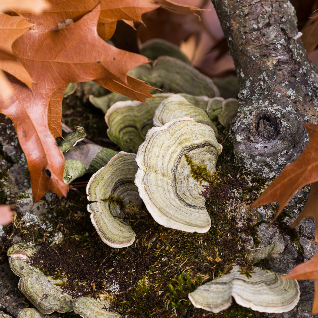 Fungus and Oak Leaves