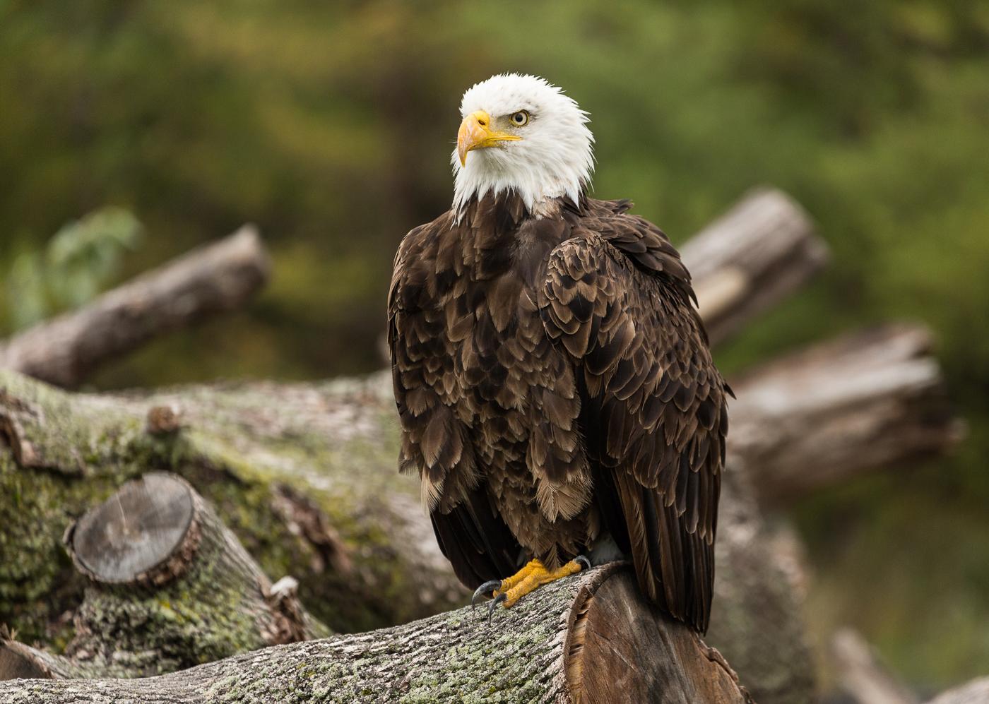 Bald Eagle at Rest on a Log