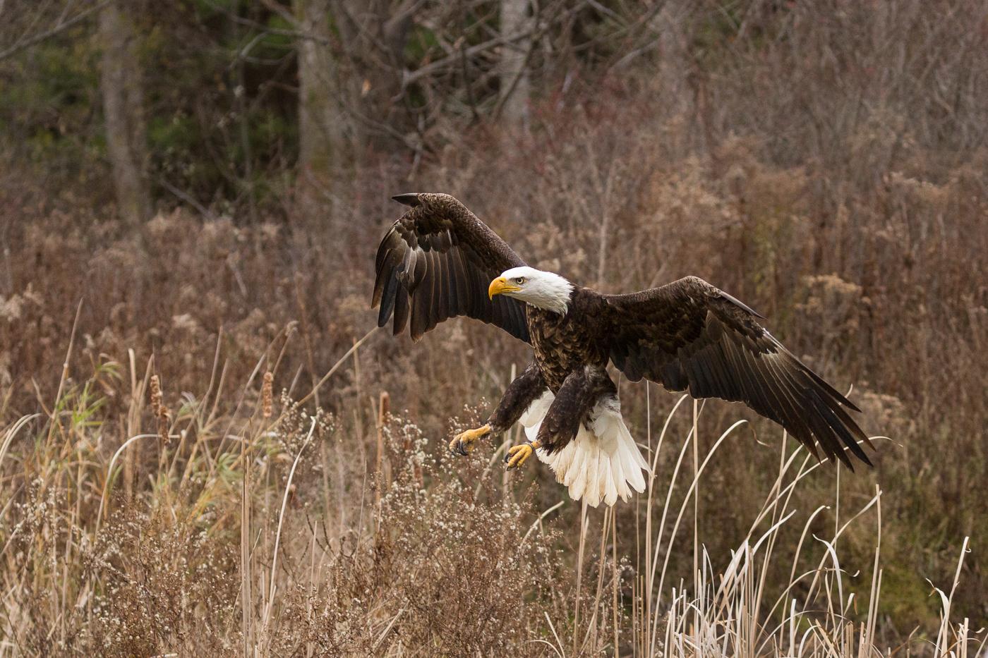 Bald Eagle Preparing to Land