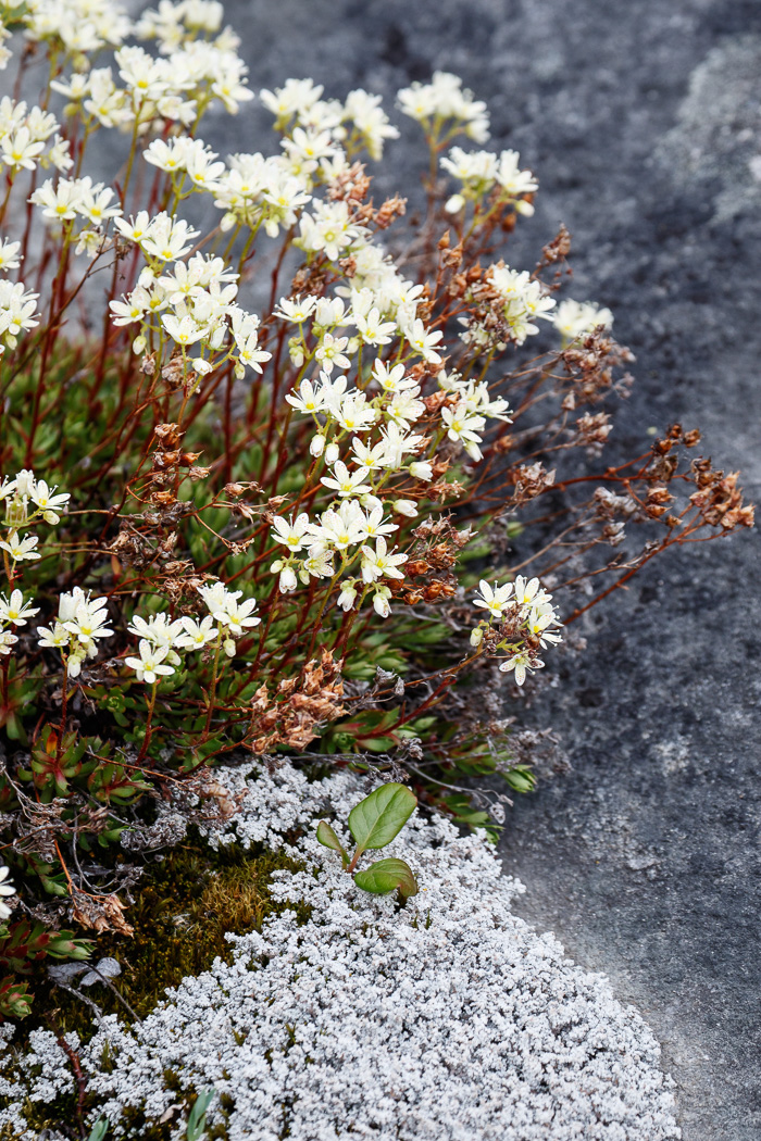 Drooping Saxifrage, Greenland