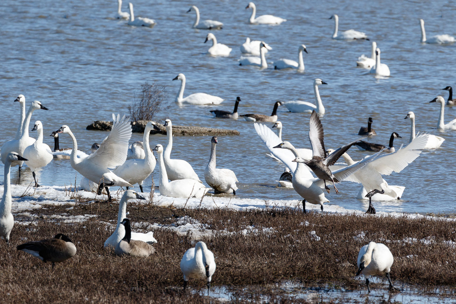 Tundra Swans and a Blue Morph Snow Goose