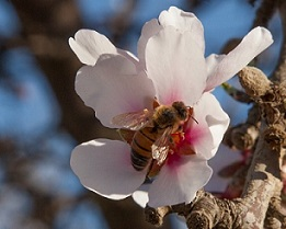 almond blossom with bee3.jpg