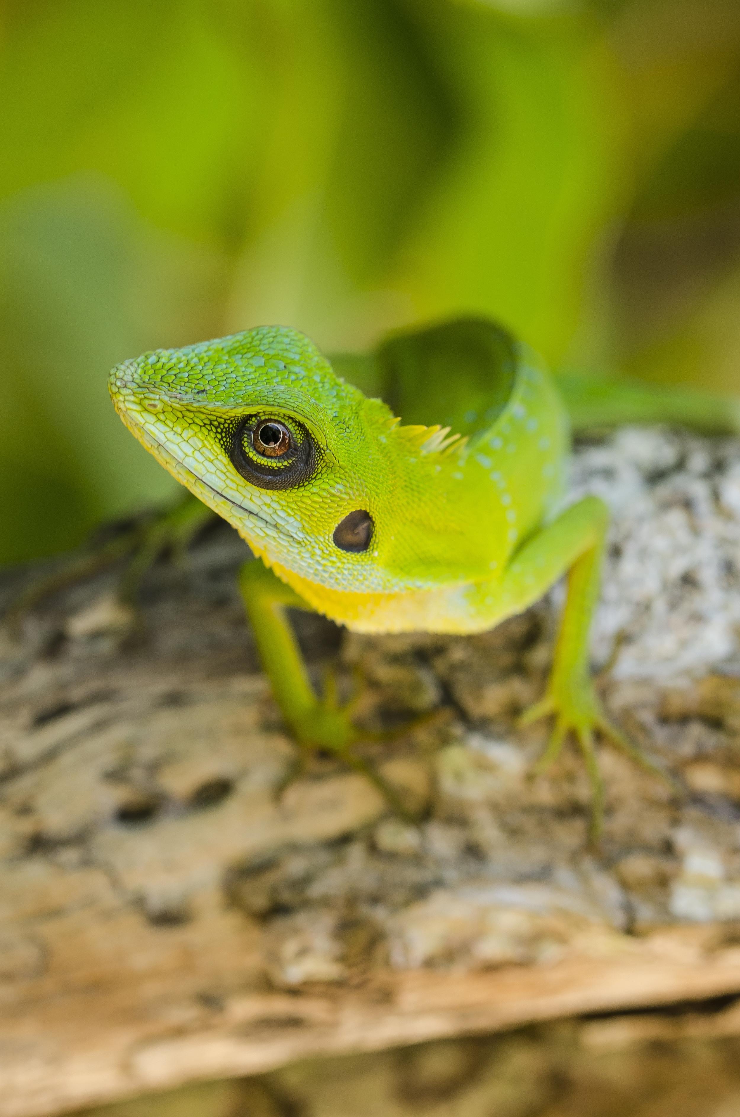 Green-crested Lizard - Perhentian Islands