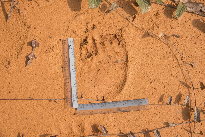 Sun Bear pugmark