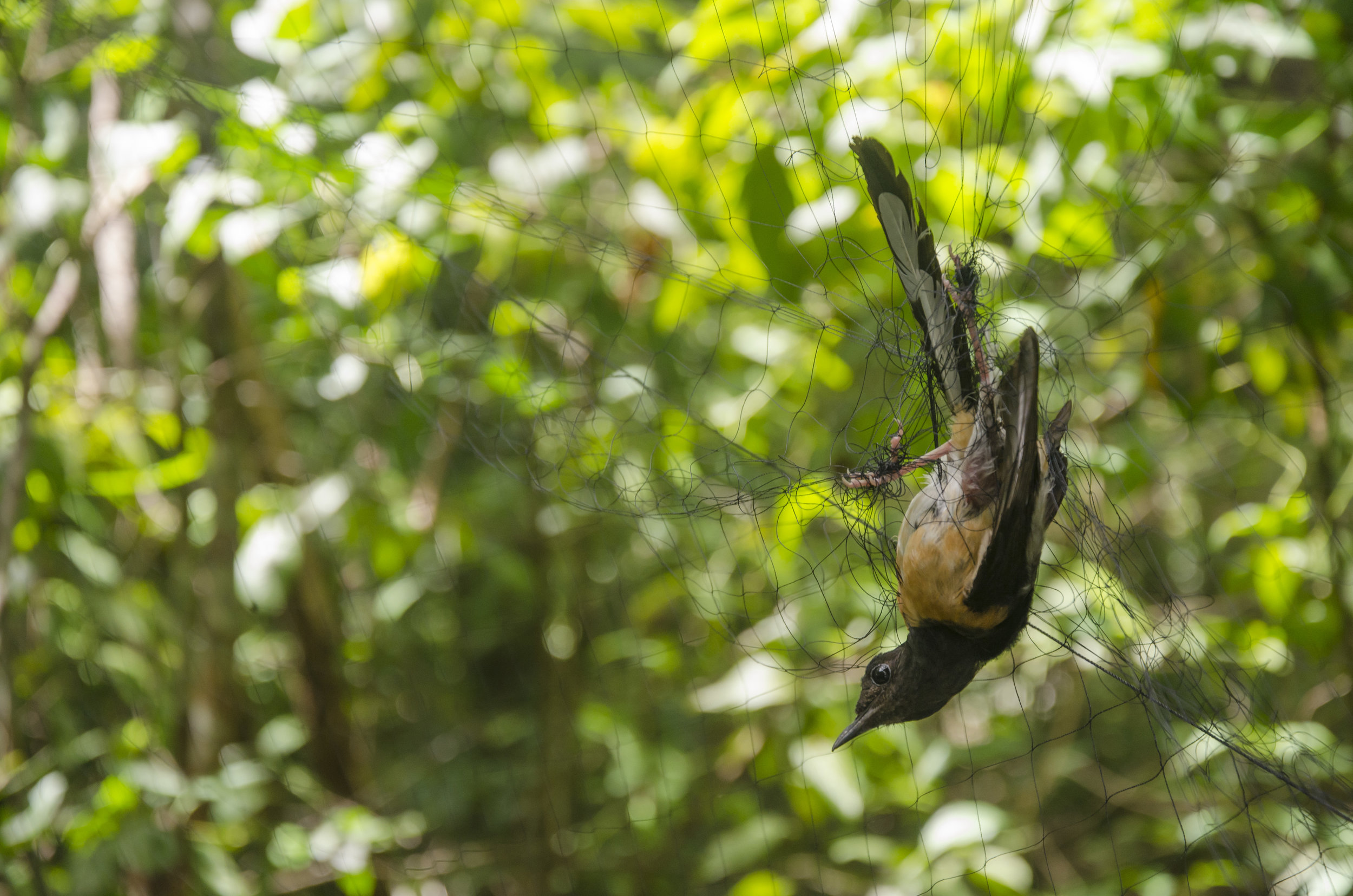 White-Rumped Shama Caught in a Mist Net