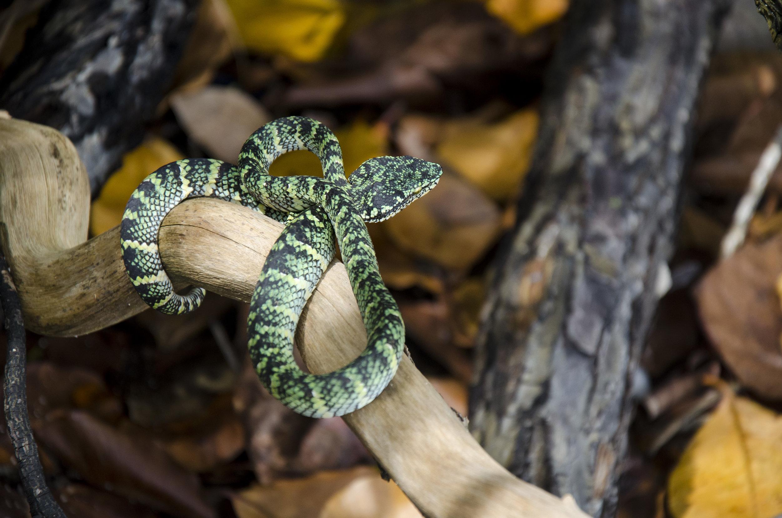 Wagler's Pit Viper