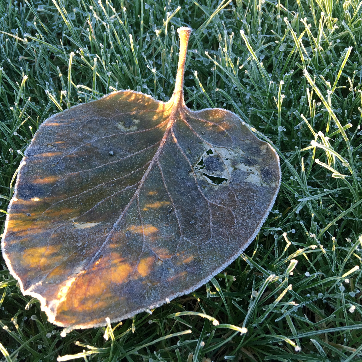Autumn Leaf in the morning sun
