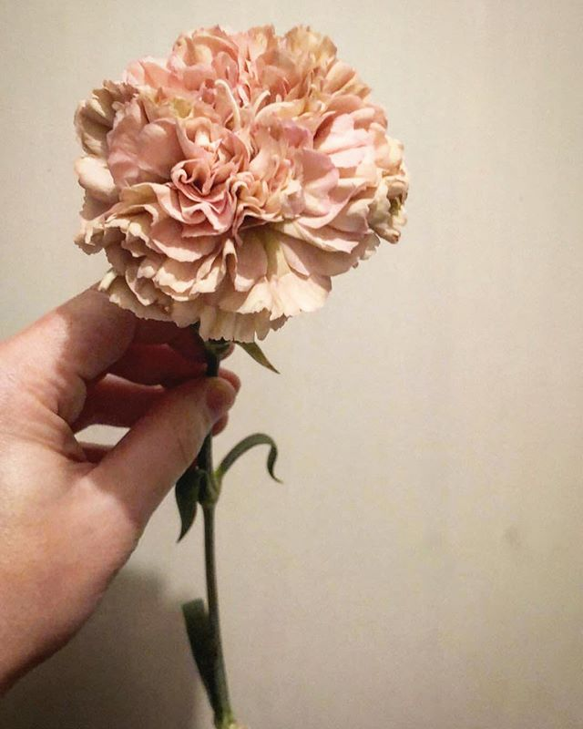 Ingredients for tomorrow's love birds. — #blush #aucklandflorist #weddingflowers #antiquecarnations #ruffles